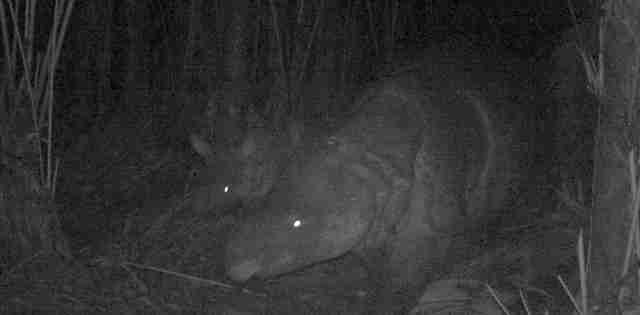 Javan rhino spotted with baby on wildlife camera