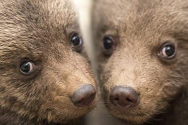Baby bear orphans in Bulgaria