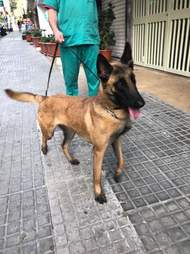 Malinois dog being walked on leash