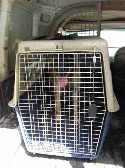 Dog in crate at back of van