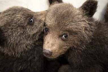 Bear cub siblings get help after losing their mom