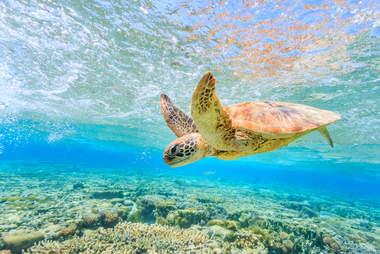 Sea turtle in Great Barrier Reef in Australia