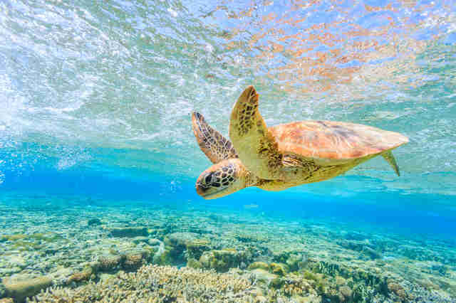 Sea turtle in Great Barrier Reef in Australia