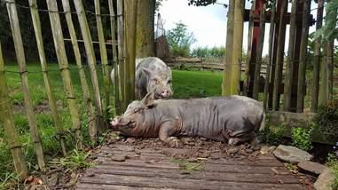 pig mourns friends' death belgium