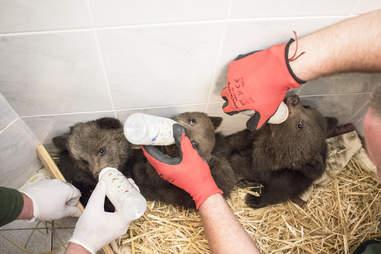 Three baby bear siblings in care of rescuers in Bulgaria