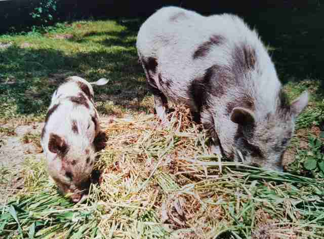 pig mourns friend's death belgium
