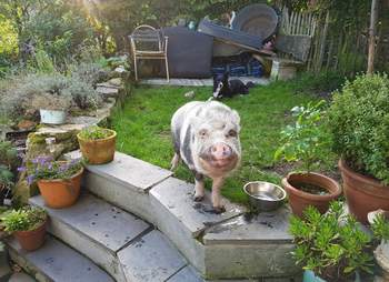 pig mourns friend