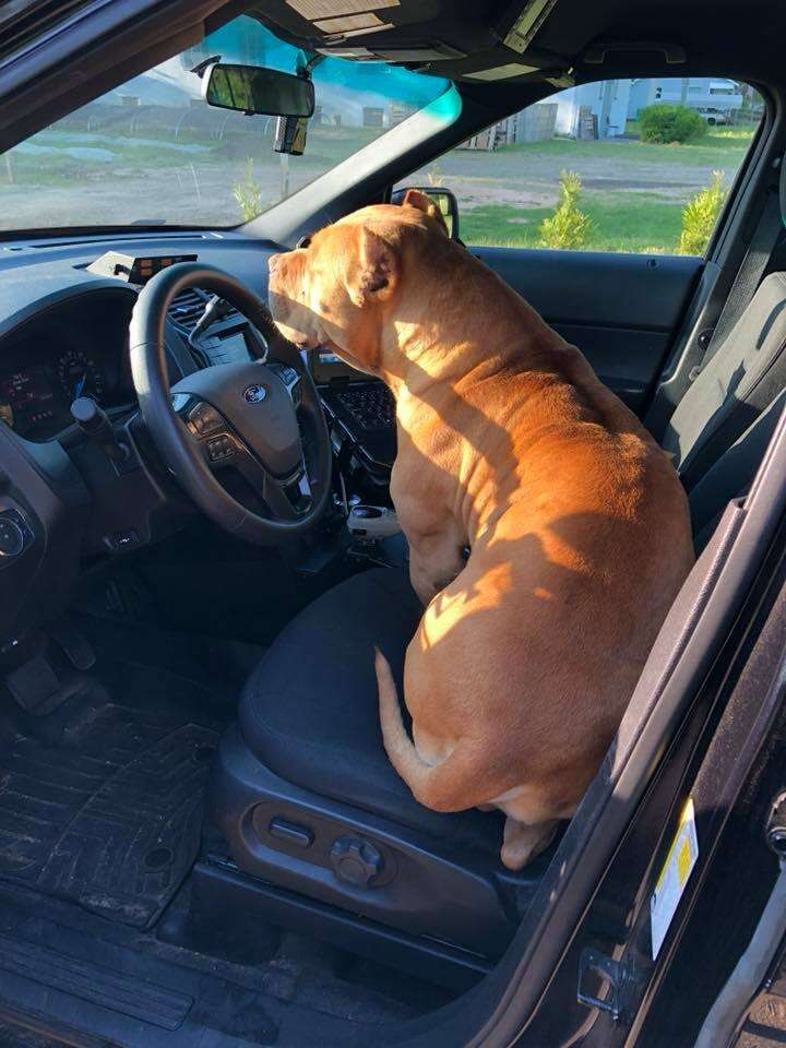 Dog sitting on cop car