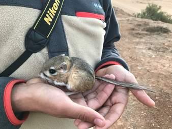 San Quintin kangaroo rat rediscovered in Baja