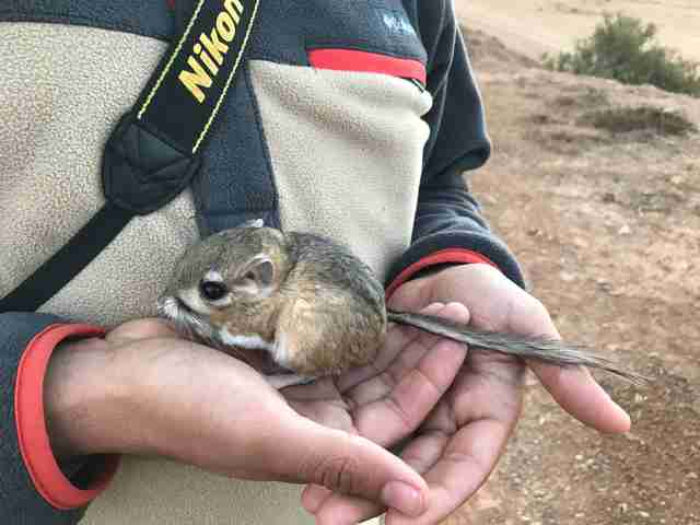 San Quintin kangaroo rat rediscovered in Baja