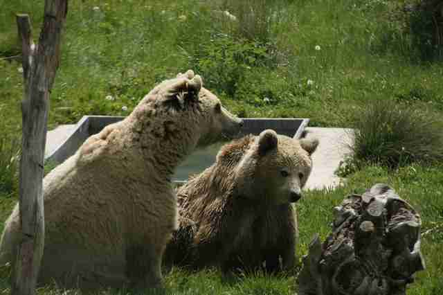 Rescued bears who fell in love at Kosovo sanctuary