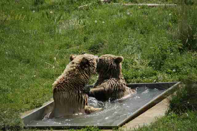 Bears fall in love at sanctuary and take a bath together