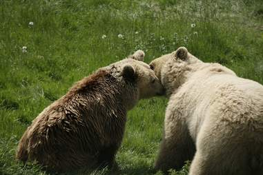 Abused bears kissing at sanctuary