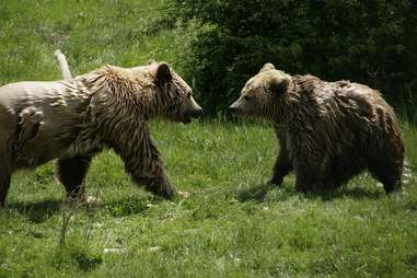 Rescued bears meeting for first time at sanctuary in Kosovo