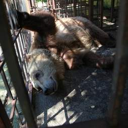 Bear saved from tiny cage in Albania