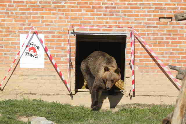 Abused bear arriving at sanctuary