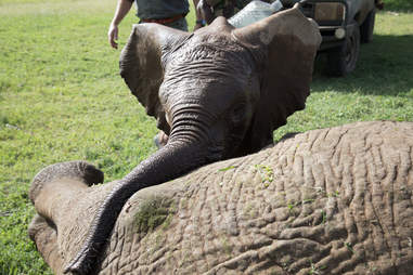 Baby elephant touching his injured friend