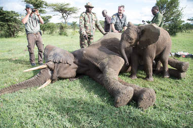 Baby elephant at the side of his injured friend