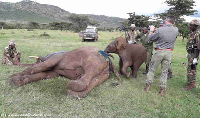 People helping injured elephant