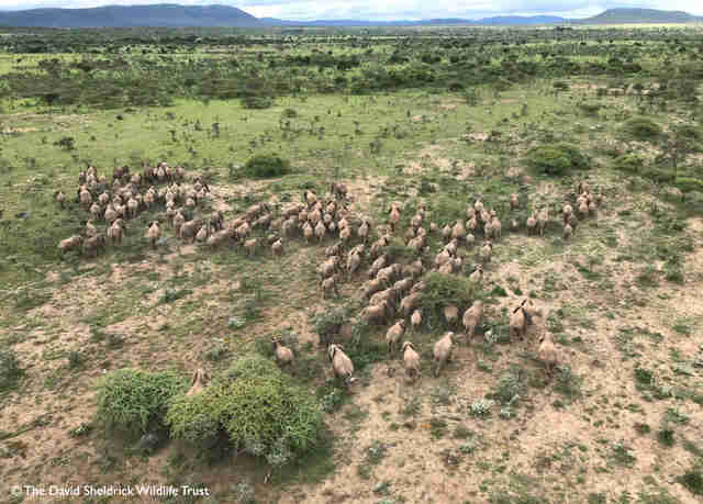 Herd of elephant running through the savannah