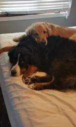 Golden retriever snuggling with Bernese mountain dog
