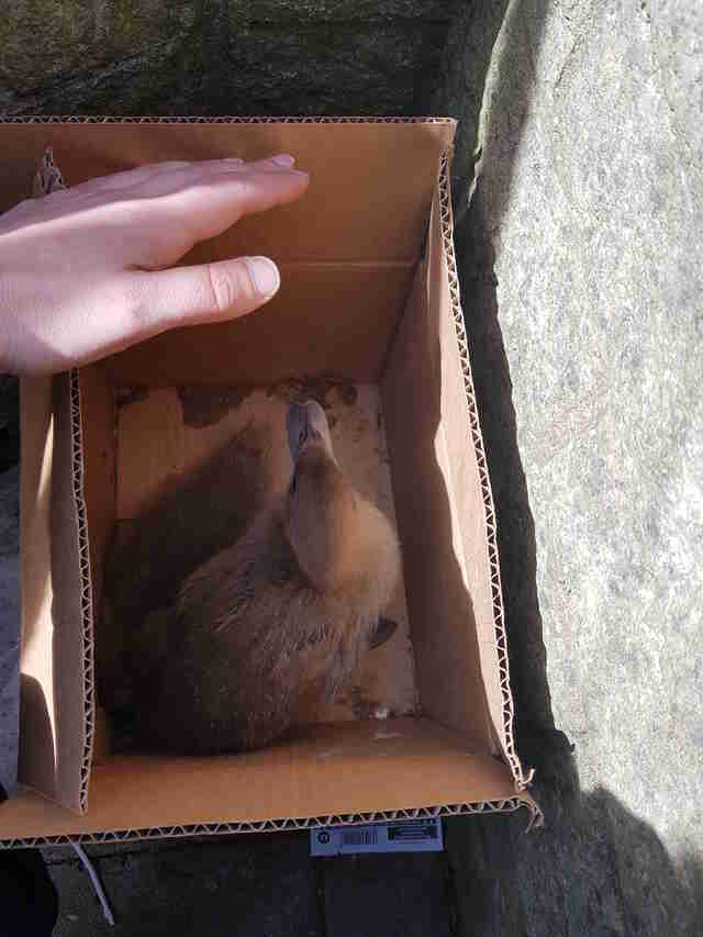 ducklings found in a cardboard box