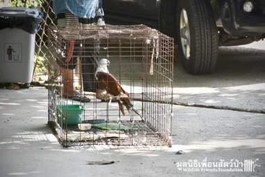 kite poached rescue thailand