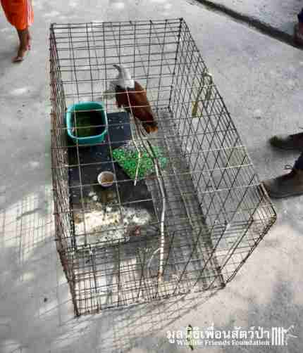kite poached rescued thailand