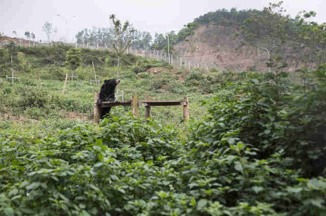 Bear sanctuary in Vietnam for former bile bears