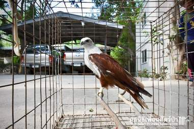 kite rescued thailand