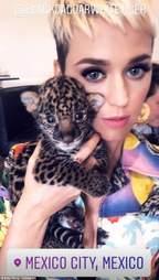 Singer Katy Perry cuddling jaguar cub