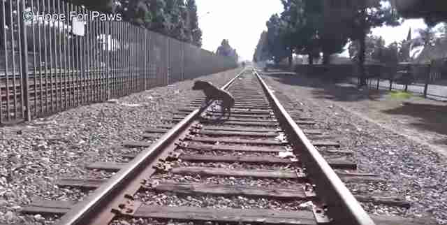 dog hit by train rescued