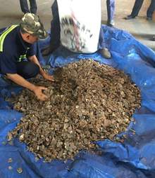 Customs officials with confiscated pangolin scales