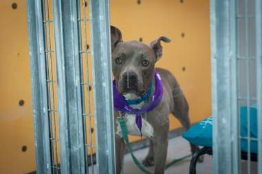 Staffordshire terrier looking sad in kennel
