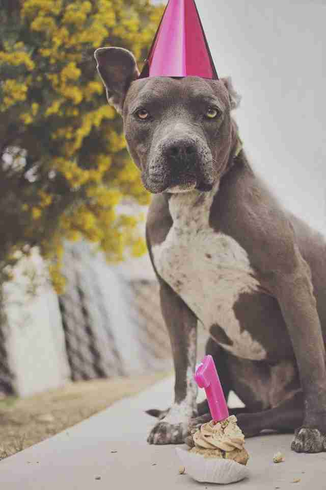 Staffordshire terrier celebrating anniversary