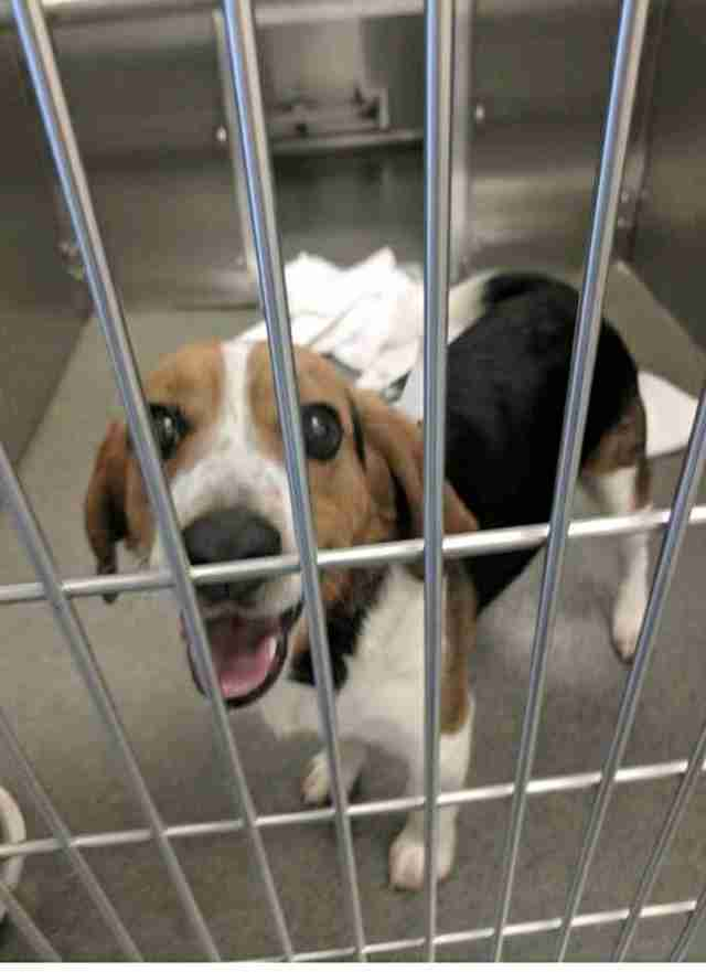 Gregory the stray beagle at the Ohio shelter