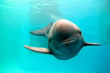 finless porpoise decline endangered