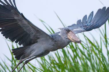 rare shoebill photos