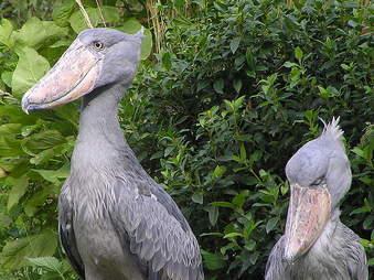 shoebill couple africa