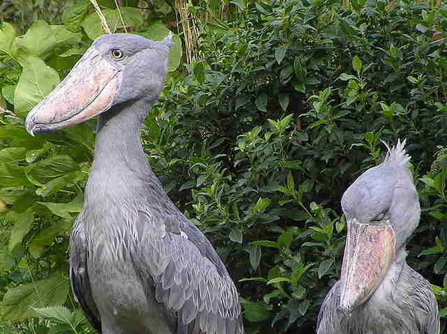 shoebill couple africa