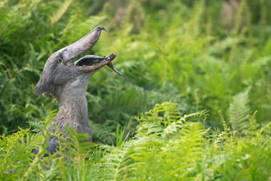 shoebill eating