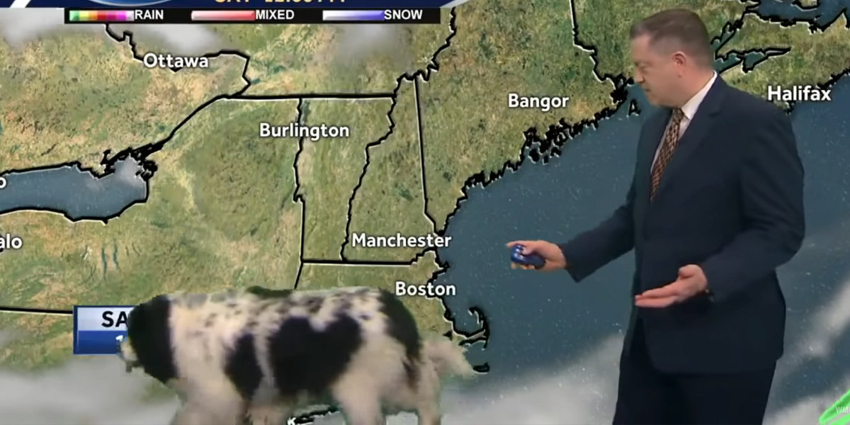 Newfoundland Dog Casually Interrupts TV Weather Report - The