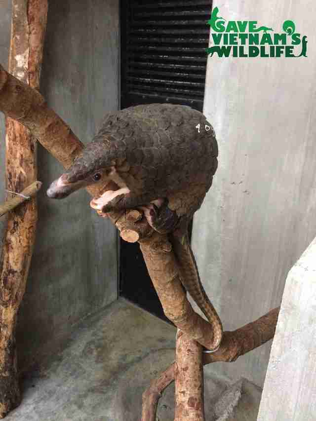 Rescued pangolin sitting on tree branch