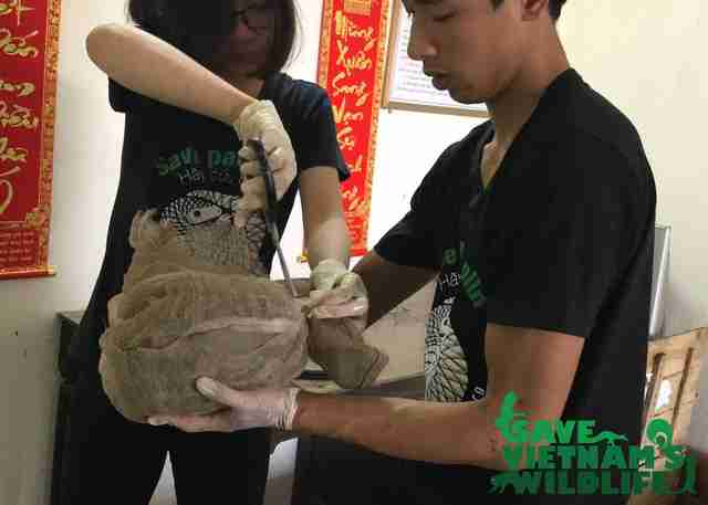 Rescuers cutting pangolins out of bags