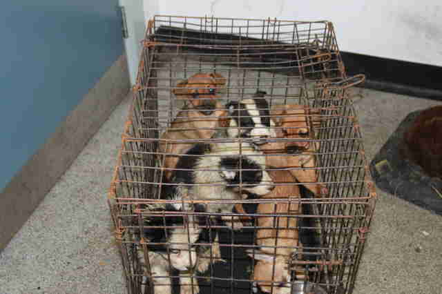 puppies rescued from illegal puppy trade