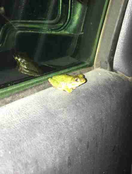 Wild tree frog getting a ride with nice guy