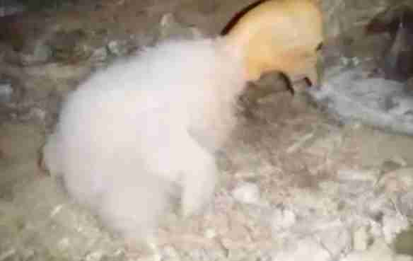 Condor chick hatched in preserve in California