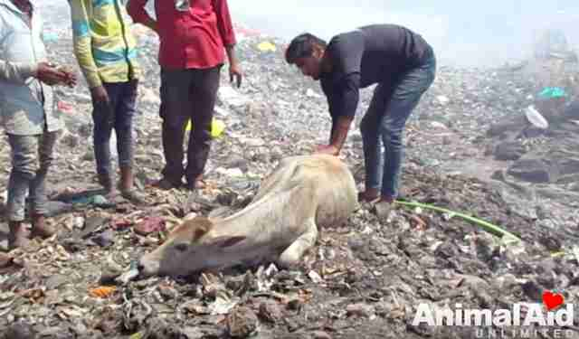 injured cow garbage dump india