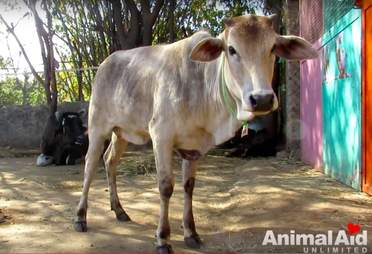 india cow street rescued