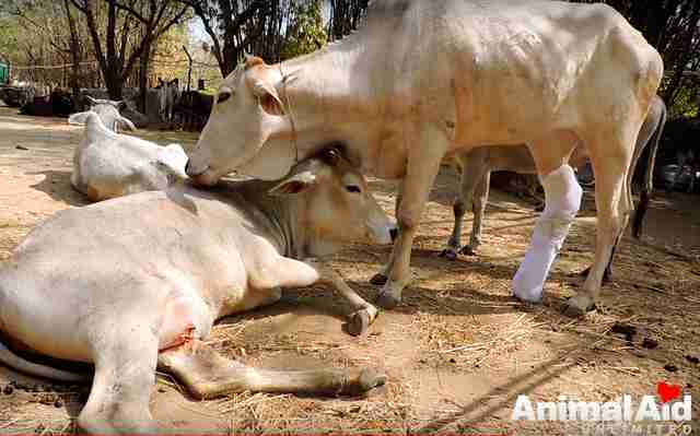 injured cow india rescue